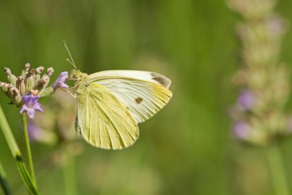 Lavendelblten mit Schmetterling